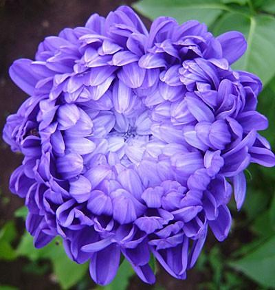 Астра высокая пионовидная фиолетовая 0.5 г